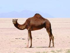 Saudi Arabia, camel in desert