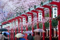 Japan - blossom and umbrellas